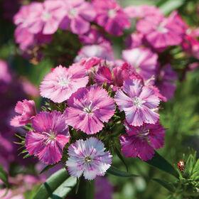 Amazon Neon Rose Magic Dianthus (Sweet William)