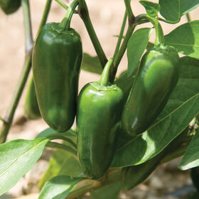 Conchos Hot Peppers