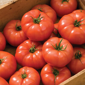 Rebelski Slicing Tomatoes