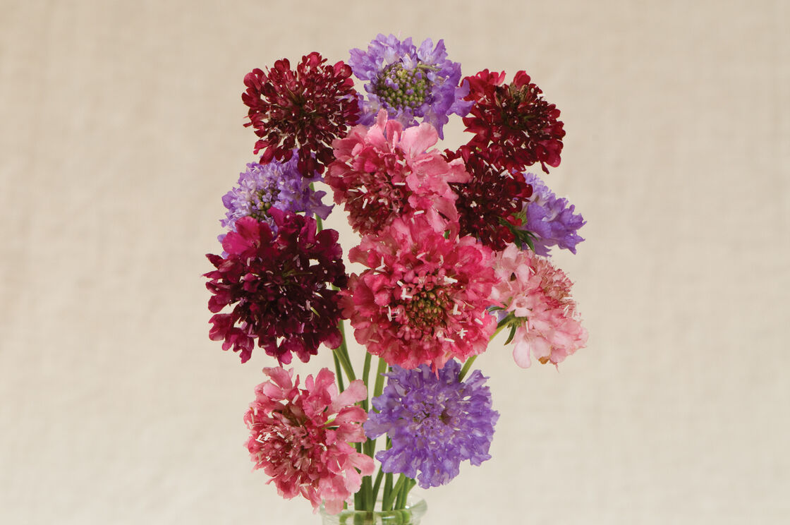 QIS™ Pincushion Formula Mix - Scabiosa Seed | Johnny\'s Selected Seeds