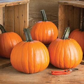 Gumdrop PMR Specialty Pumpkins
