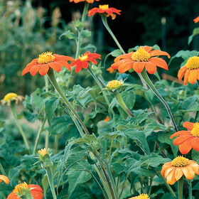 Torch Tithonia (Mexican Sunflower)