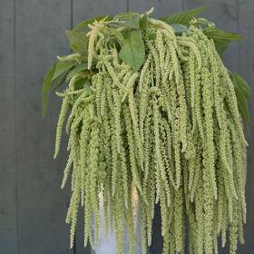 Emerald Tassels Amaranthus
