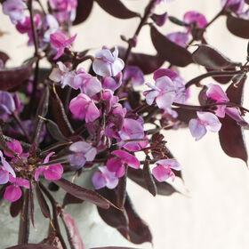 Ruby Moon Hyacinth Bean