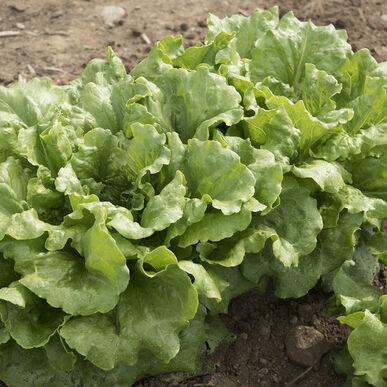 Concept Summer Crisp Lettuce (Batavia)
