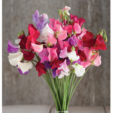 Mammoth Choice Mix Sweet Peas