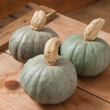 Shokichi Shiro Winter Squash