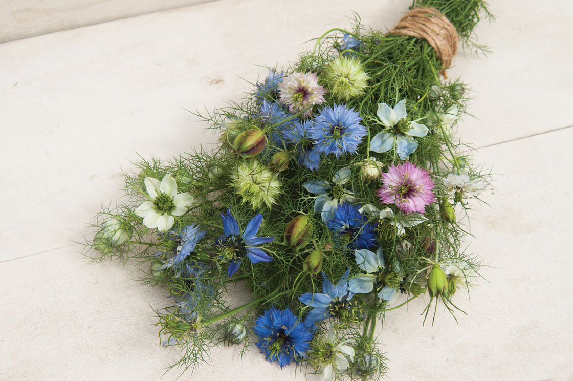 Love In A Mist Nigella Seed Johnnys Selected Seeds