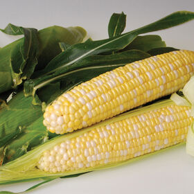 Sweetness Sweet Corn