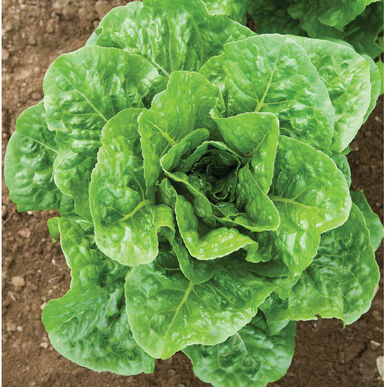 Salvius Romaine Lettuce (Cos)