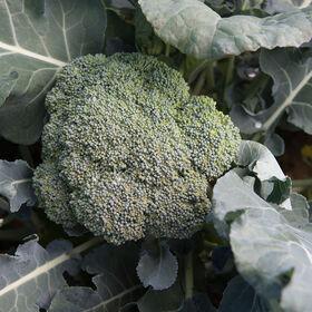 Arcadia Standard Broccoli