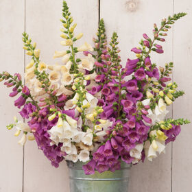Camelot Mix Digitalis (Foxglove)