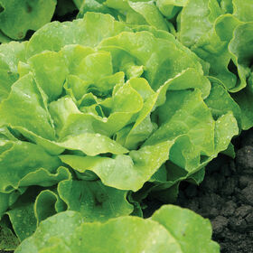 Mirlo Butterhead Lettuce (Boston)