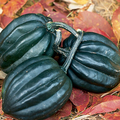 tuffy organic squash seed johnny 39 s selected seeds. Black Bedroom Furniture Sets. Home Design Ideas