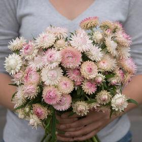 银玫瑰草花