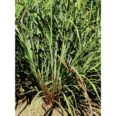 Lemon Grass, East Indian