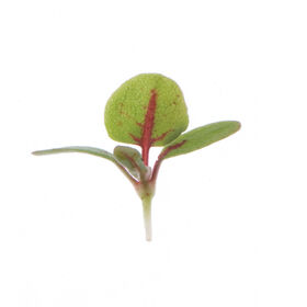 Sorrel, Red Veined Slow Growing Varieties
