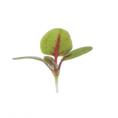 Sorrel, Red Veined