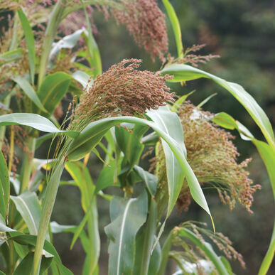 Red Broom Corn