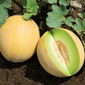 Diplomat Galia Melons (Tropical)