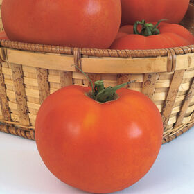 Celebrity Beefsteak Tomatoes