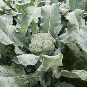 标准青花菜