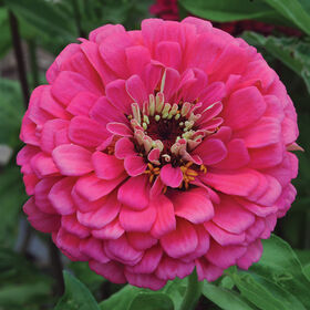Giant Dahlia Flowered Deep Rose Tall Zinnias