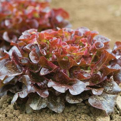 Salanova® Red Oakleaf