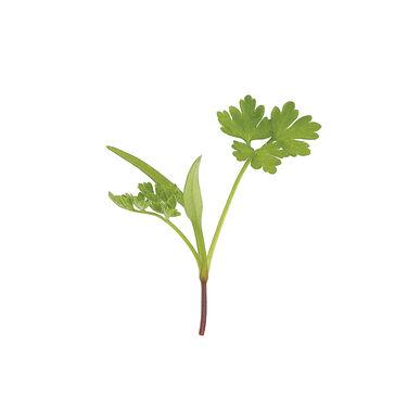 Chervil Slow Growing Varieties