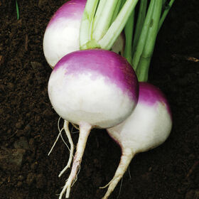 紫顶白球萝卜