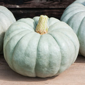 Jarrahdale Large Specialty Pumpkins