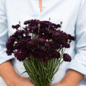 Black Button Centaurea (Bachelor's Button)