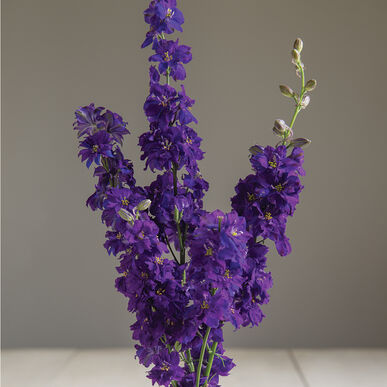 Sublime Dark Blue Larkspur