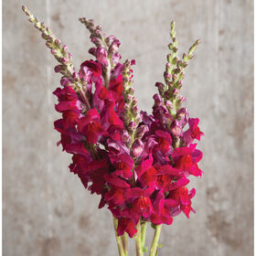 Potomac Red Snapdragon