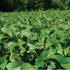 Soybeans (Viking 2265) Soybeans