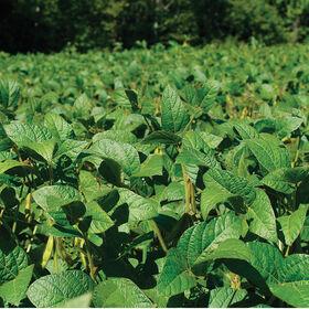 大豆(海盗2265)大豆(覆盖作物)