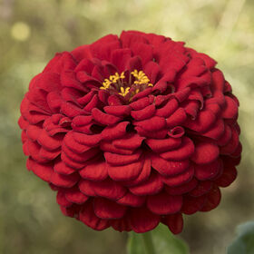 Giant Dahlia Flowered Scarlet