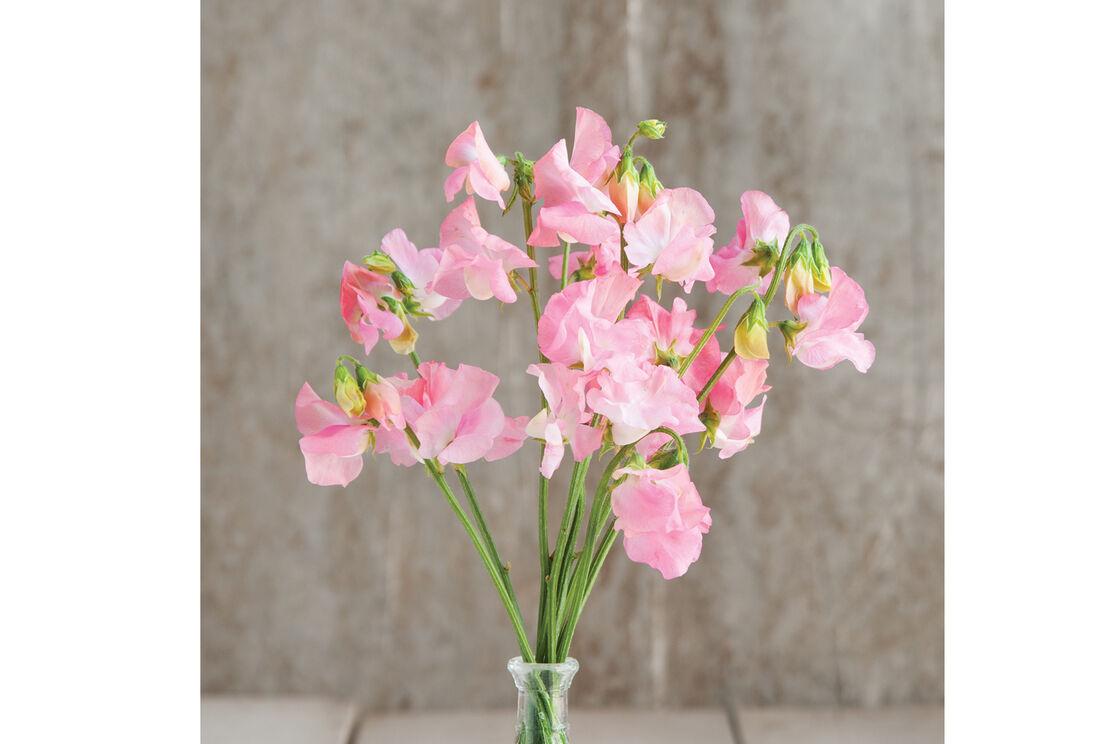 Elegance Pink Diana Sweet Pea Seed Johnnys Selected Seeds