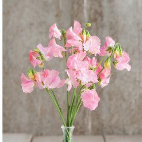 Elegance Pink Diana