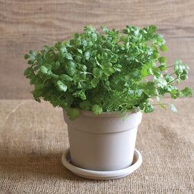 Cilantro/Coriander Herb Disks
