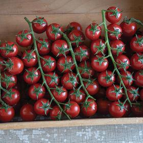 埃多克斯樱桃番茄