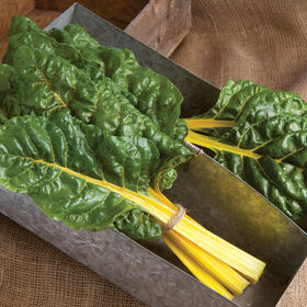 Bright Yellow Swiss Chard