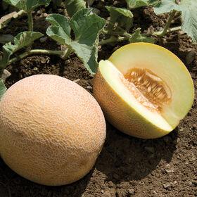 San Juan Ananas Melons
