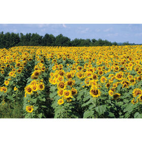 Royal Hybrid® 1121 Sunflower