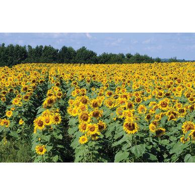 Royal Hybrid® 1121 Sunflower