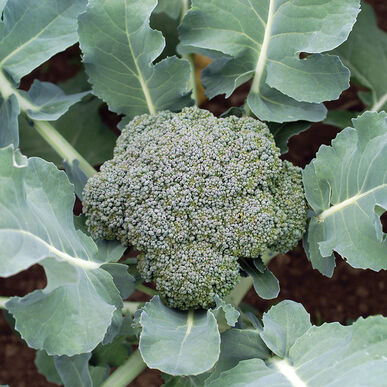 Blue Wind Standard Broccoli