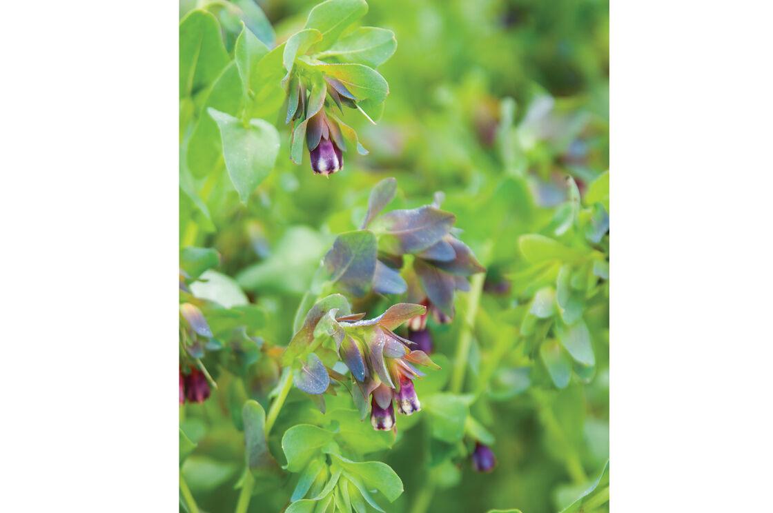 Kiwi plant flower