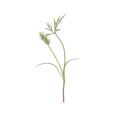 Dill Slow Growing Varieties
