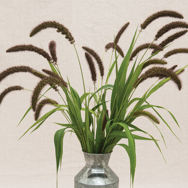 Pictures Of Ornamental Grass Lowlander ornamental grass seed johnnys selected seeds lowlander grasses ornamental workwithnaturefo