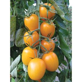 金色的大酱番茄
